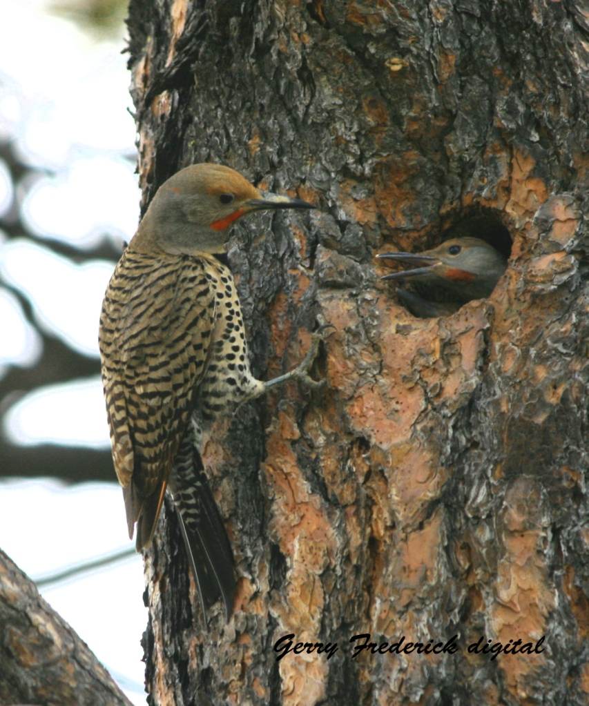 Father flicker tending the nest