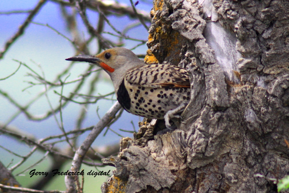 Northern Flicker leaving nest