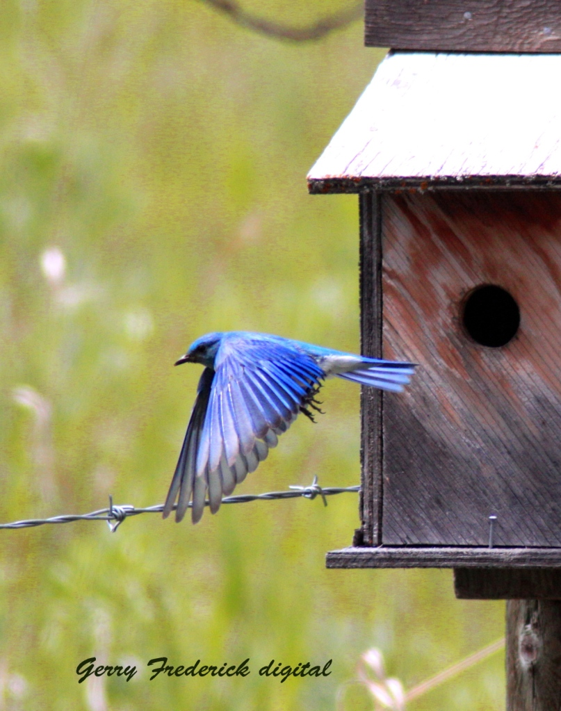 Western Blue bird flight