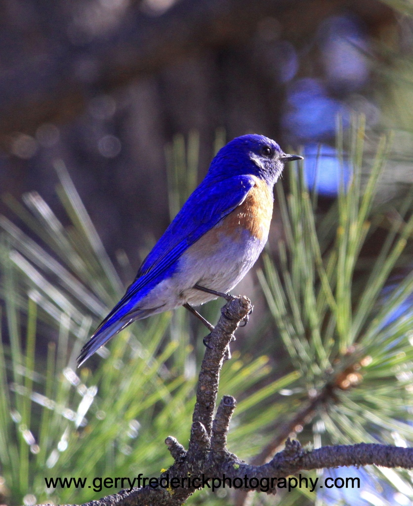 male western blue bird s