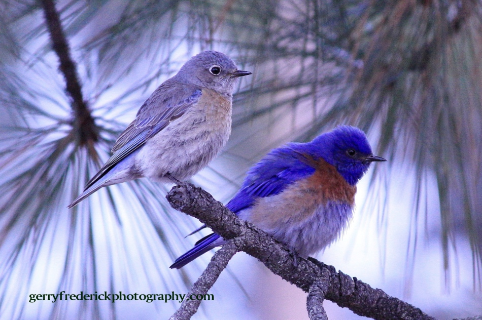 Western Blue Bird matted pair s